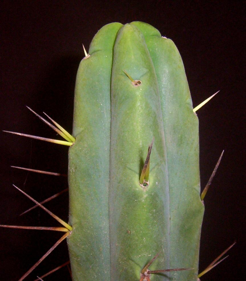 Trichocereus bridgesii Echinopsis lageniformis KK919 Knize