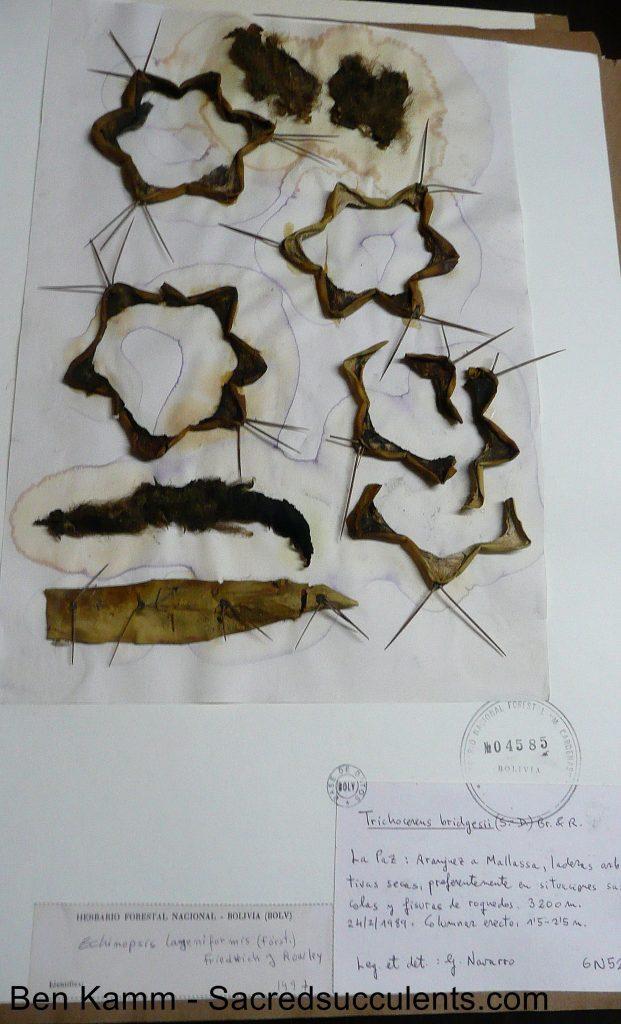 Trichocereus bridgesii Herbarium, Cochabamba, Bolivia Echinopsis lageniformis