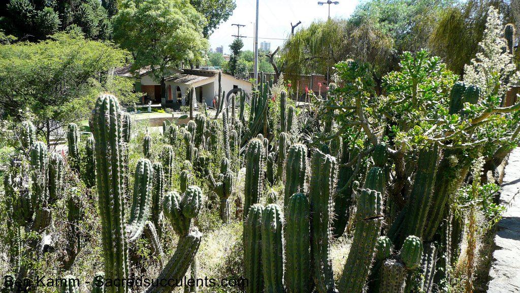 Trichocereus species in Martin Cardenas Botanical Garden Cochabamba, Bolivia