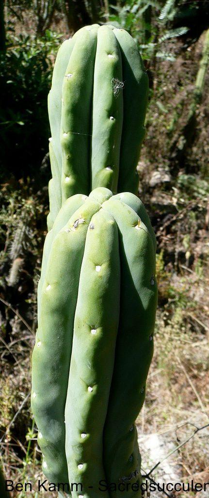 Trichocereus bridgesii, Martin Cardenas Botanical Garden, Cochabamba, Bolivia 2010