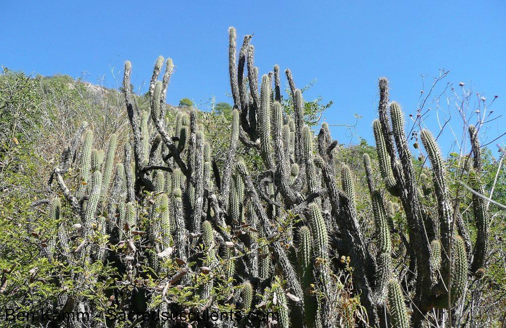132 Harrisia tetracantha, Cerro San Pedro, Cochabamba, Bolivia 2010 copyright B