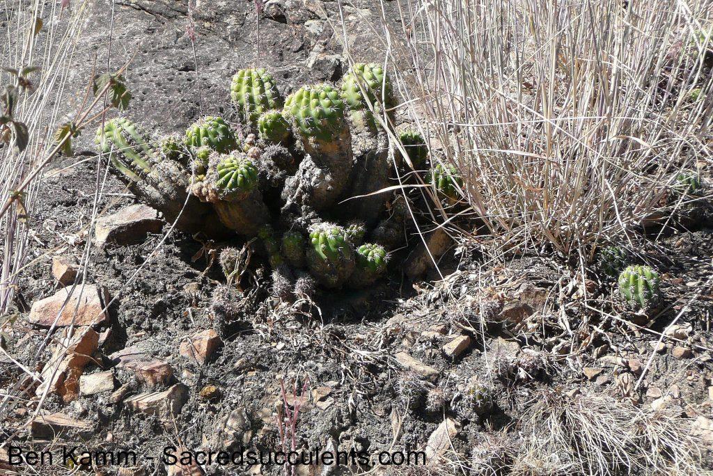 135 Echinopsis sp, Cerro San Pedro, Cochabamba, Bolivia 2010 copyright B