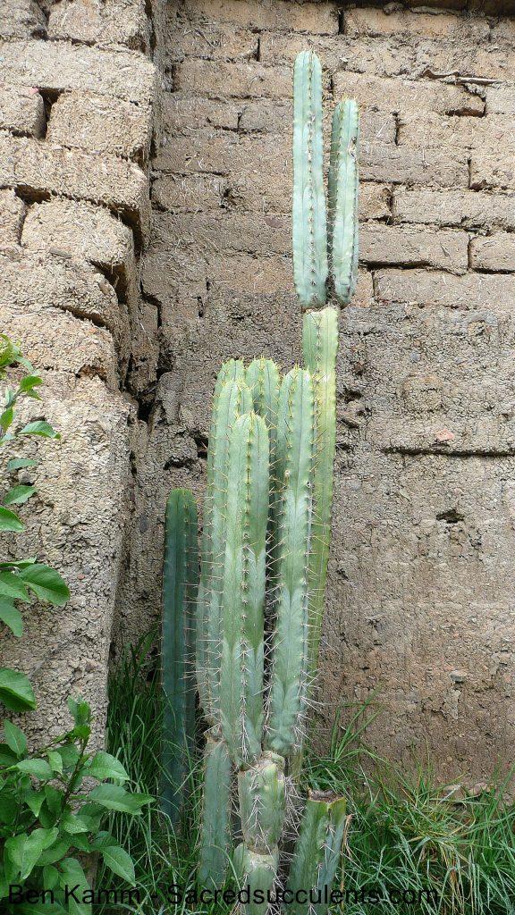 BK10508.7 Trichocereus riomizquensis, Totora , Cochabamba, Bolivia