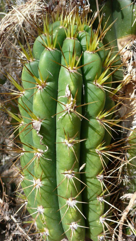 193 BK08601.1 Trichocereus Isla del Sol, Bolivia