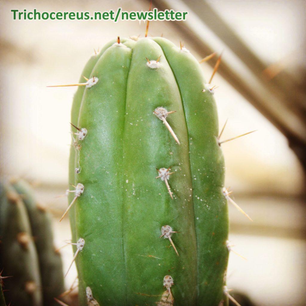 Photo Trichocereus pachanoi Ecuador Echinopsis pachanoi cactus 2