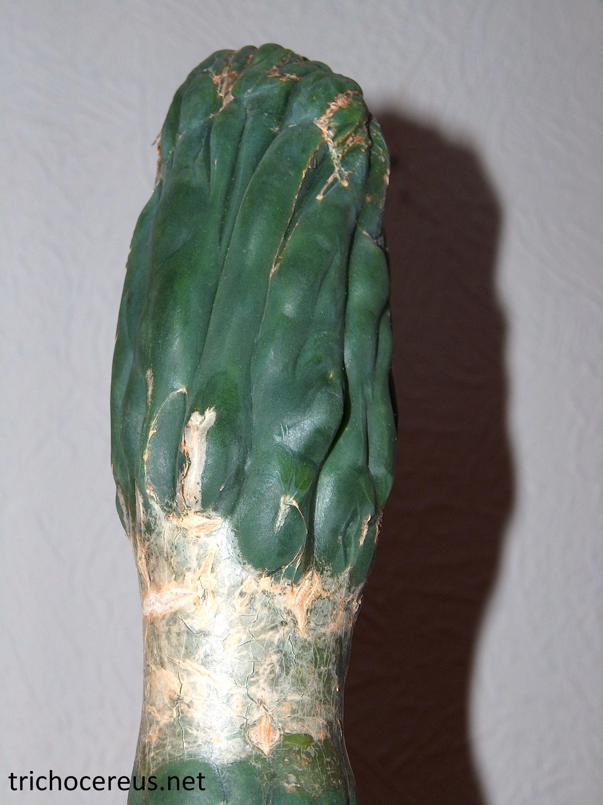 Trichocereus santiaguensis cristata monstrosa Echinopsis santiaguensis monstrose