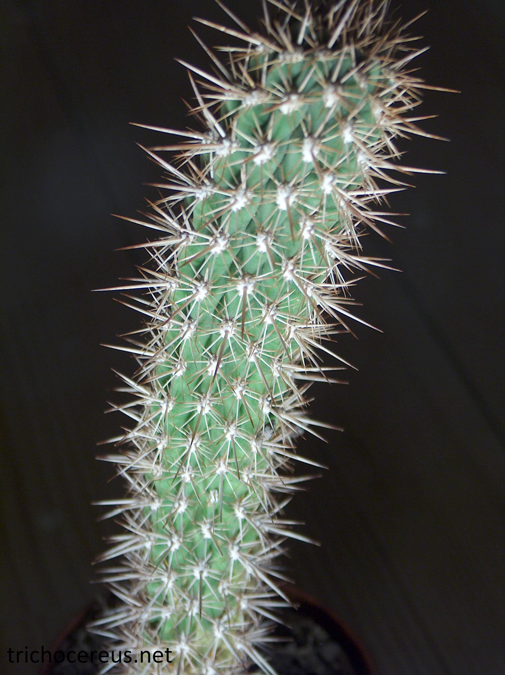 Trichocereus litoralis Echinopsis chiloensis ssp. litoralis 4
