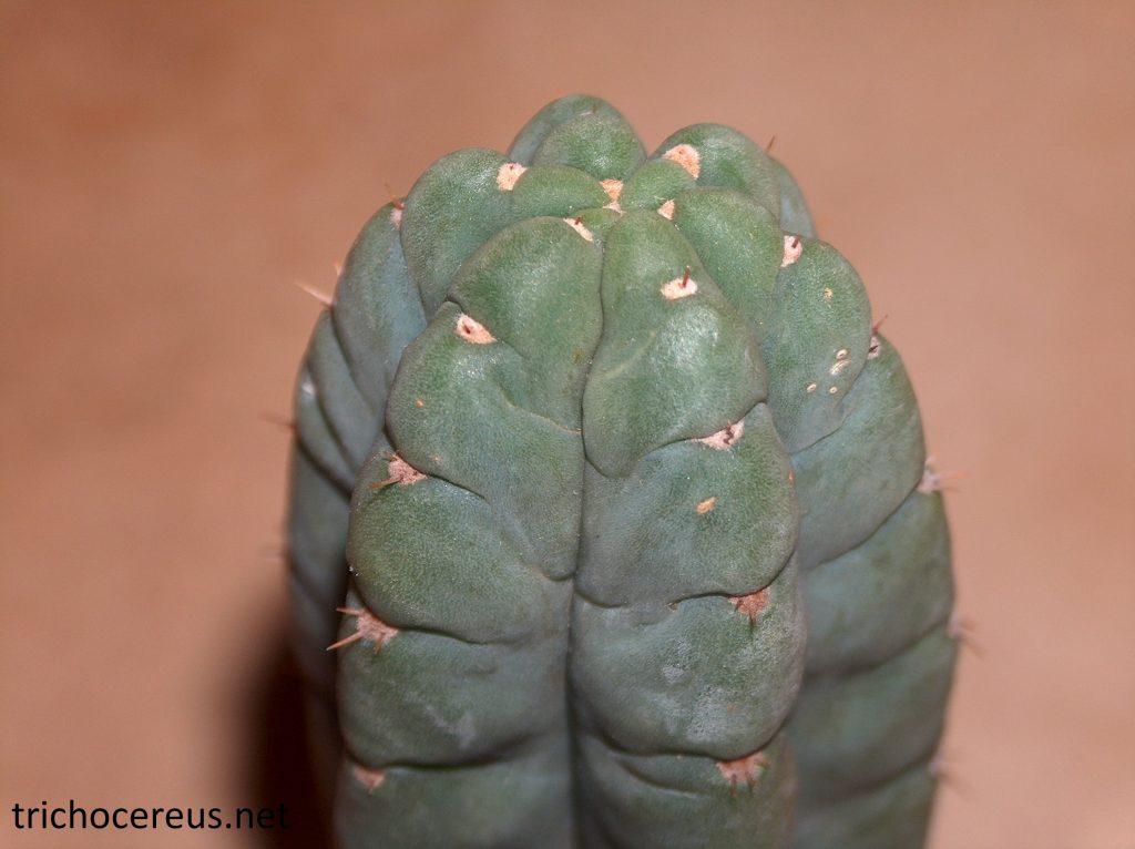 Trichocereus pachanoi Echinopsis pachanoi photos ribs