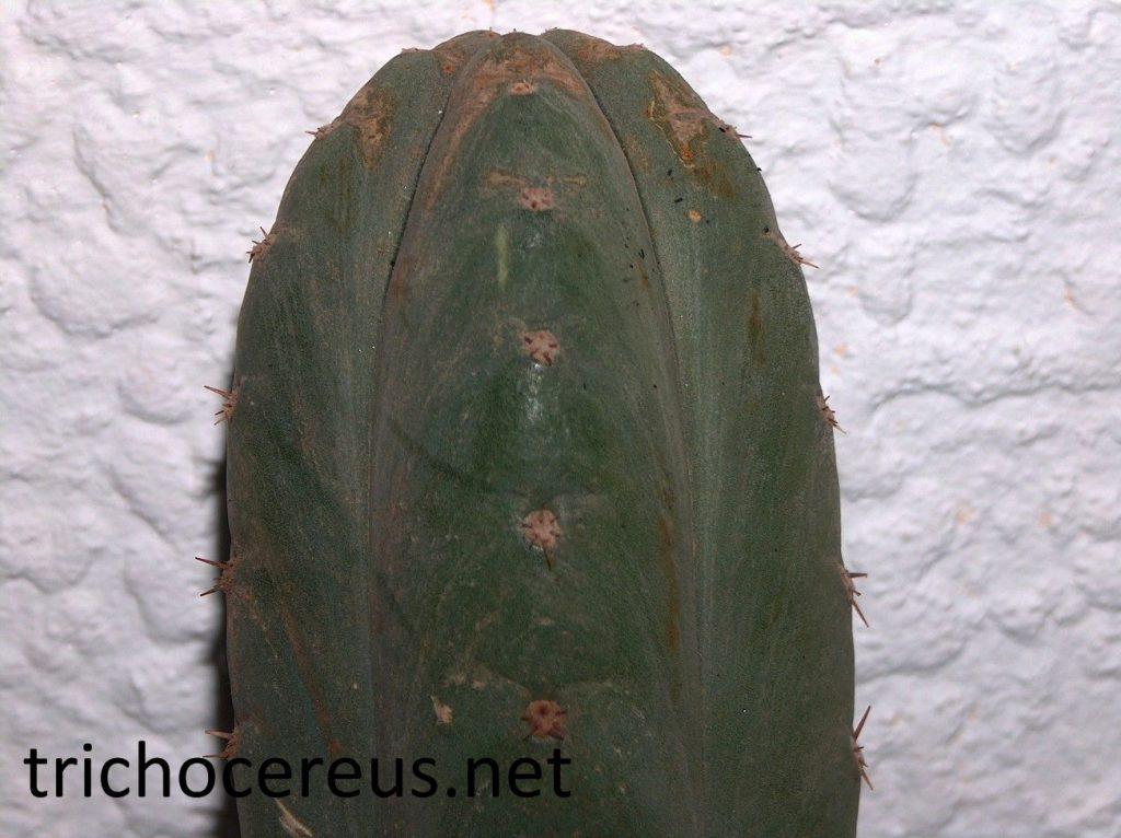 Trichocereus Pachanoi 63aa