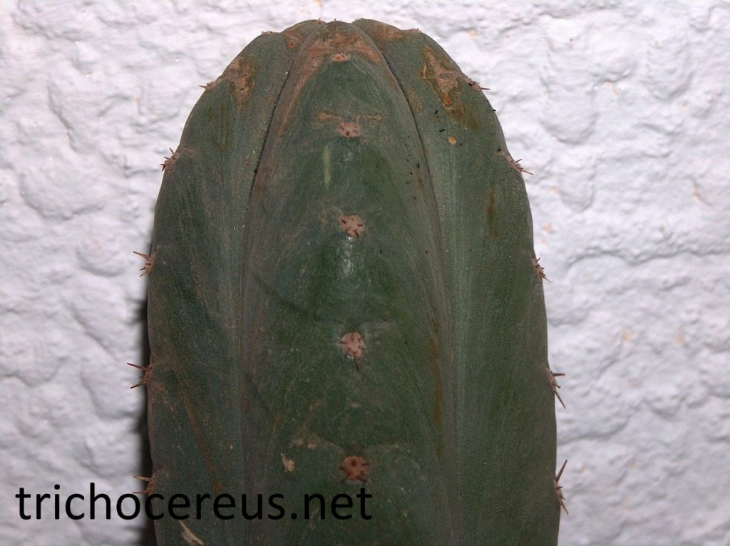 Trichocereus pachanoi echinopsis pachanoi photos 8