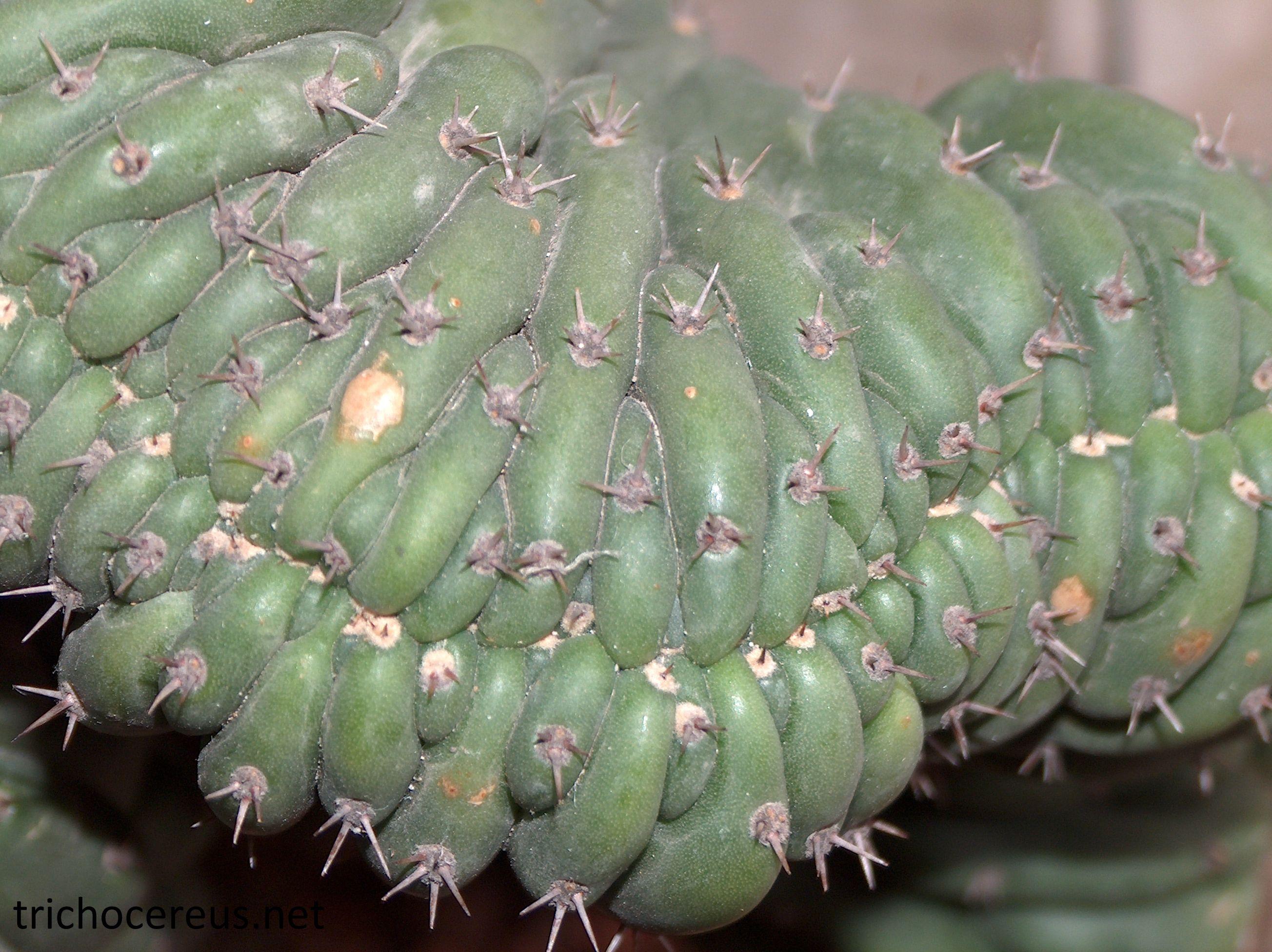 "Trichocereus pachanoi monstrosa ""Clone B"""