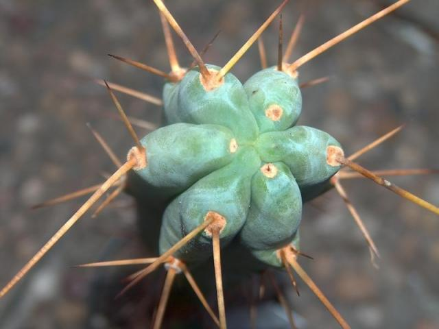 Trichocereus bridgesii v.longispinus Echinopsis lageniformis