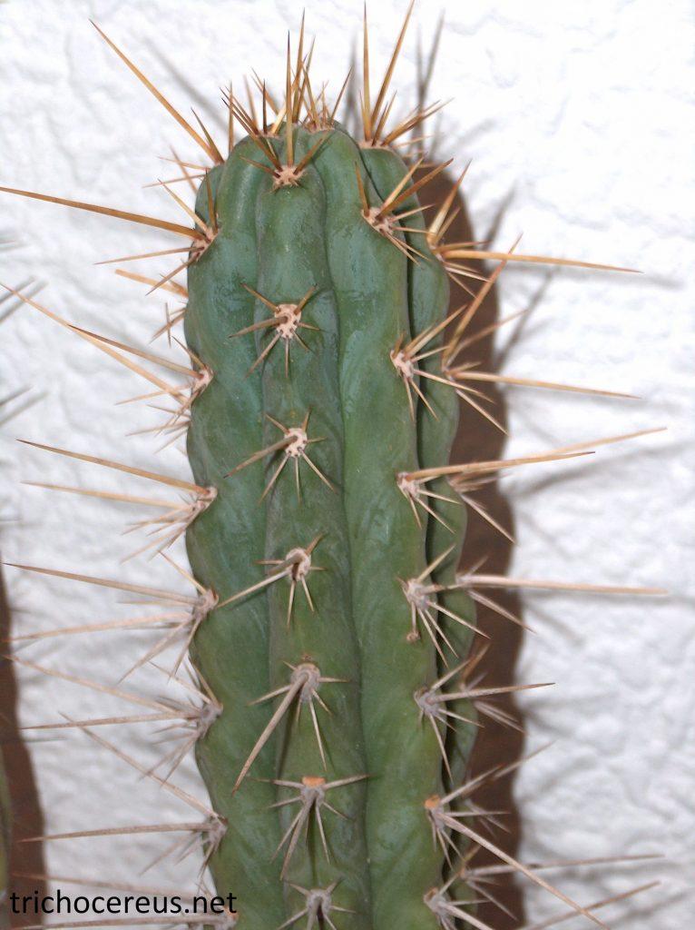 Trichocereus cuzcoensis Echinopsis cuzcoensis Nitrogen