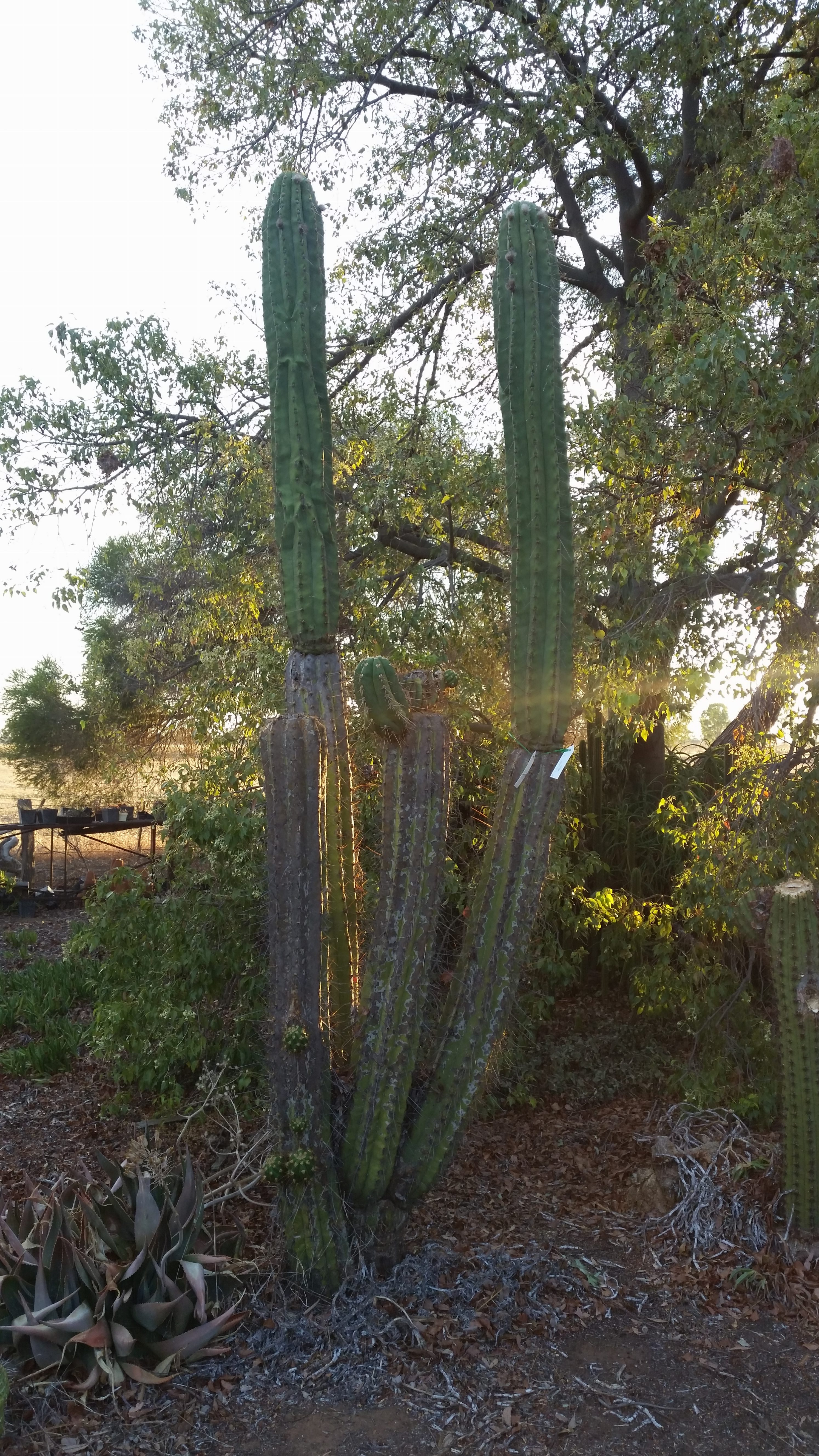 The Garden Trichocereus validus Fields Echinopsis valida