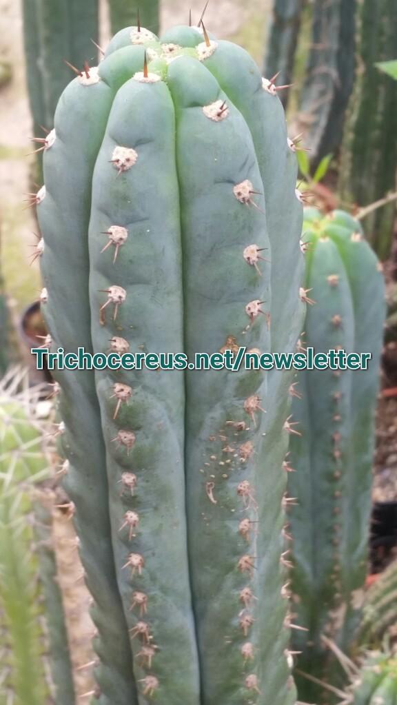 Short Spine Trichocereus peruvianus Echinopsis macrogona Photo 6