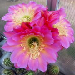 Trichocereus hybrid FLYING SAUCER SEEDS