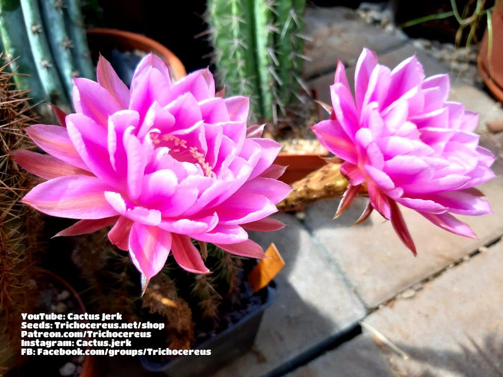Wörlitz x Consolation Echinopsis Trichocereus Lobivia hybrid seeds cactus flowers 2
