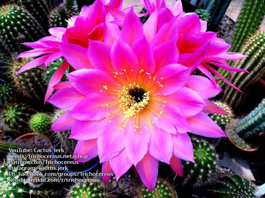 Trichocereus KA1 Echinopsis Gräser flower Flowers cactus cacti seeds