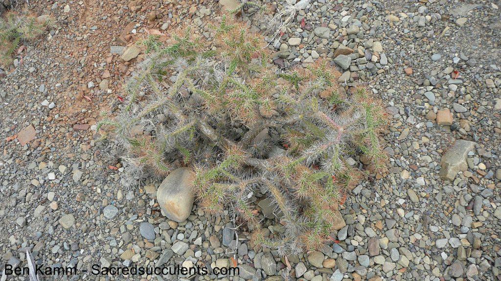 219 Opuntioid, descent to Chujllas, Cochabamba, Bolivia 2010 copyright B