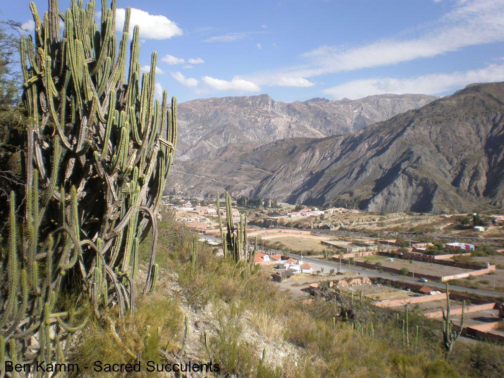 Trichocereus bridgesii in Bolivia (Ben Kamm) 2