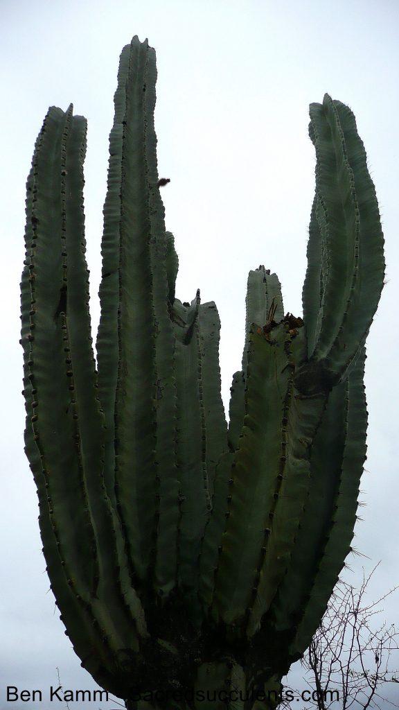 222 Neoraimondia herzogiana, descent to Chujllas, Cochabamba, Bolivia 2010 copyright B