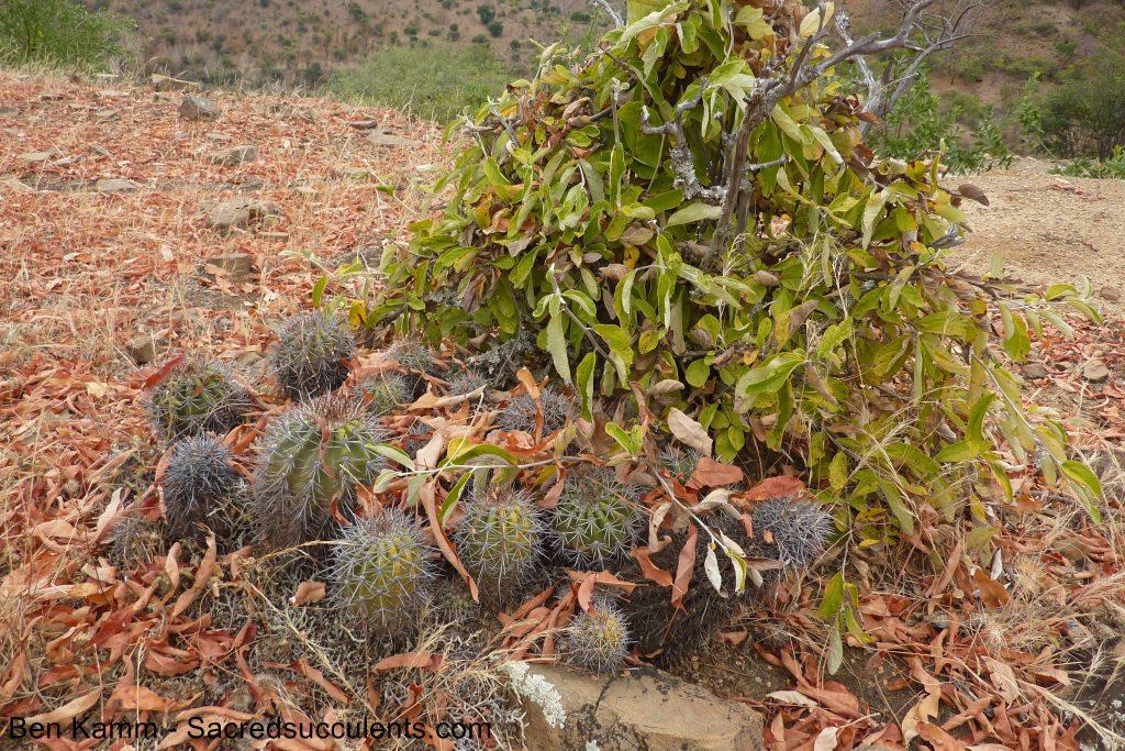223 Echinopsis sp, descent to Chujllas, Cochabamba, Bolivia 2010 copyright N