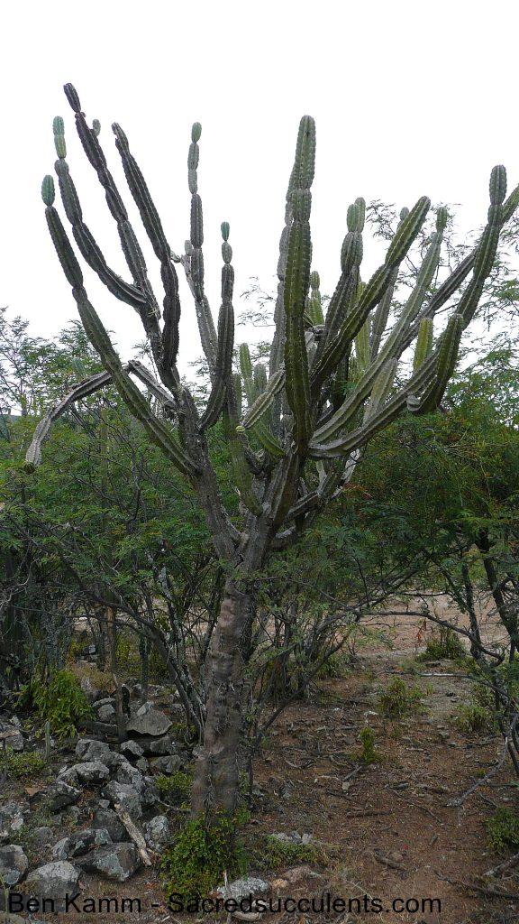 224 Cereus sp, descent to Chujllas, Cochabamba, Bolivia 2010 copyright B