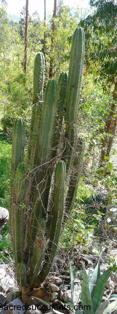 BK09509.1 Trichocereus sp, Chavin, Ancash, Peru 3