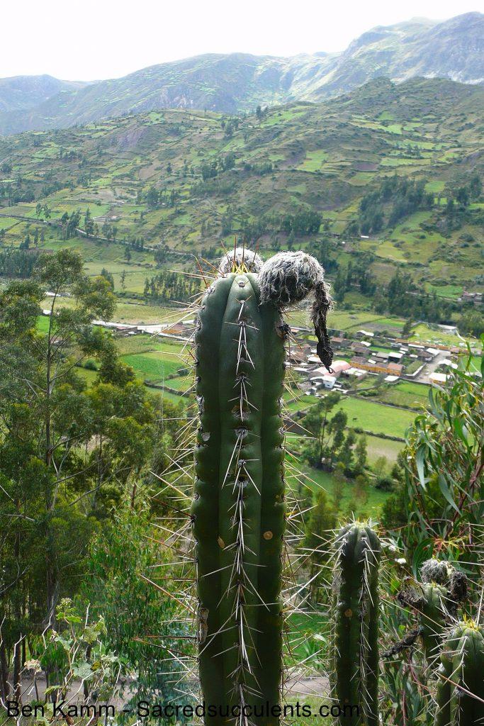 BK09509.2 Trichocereus sp, Chavin, Ancash, Peru 3