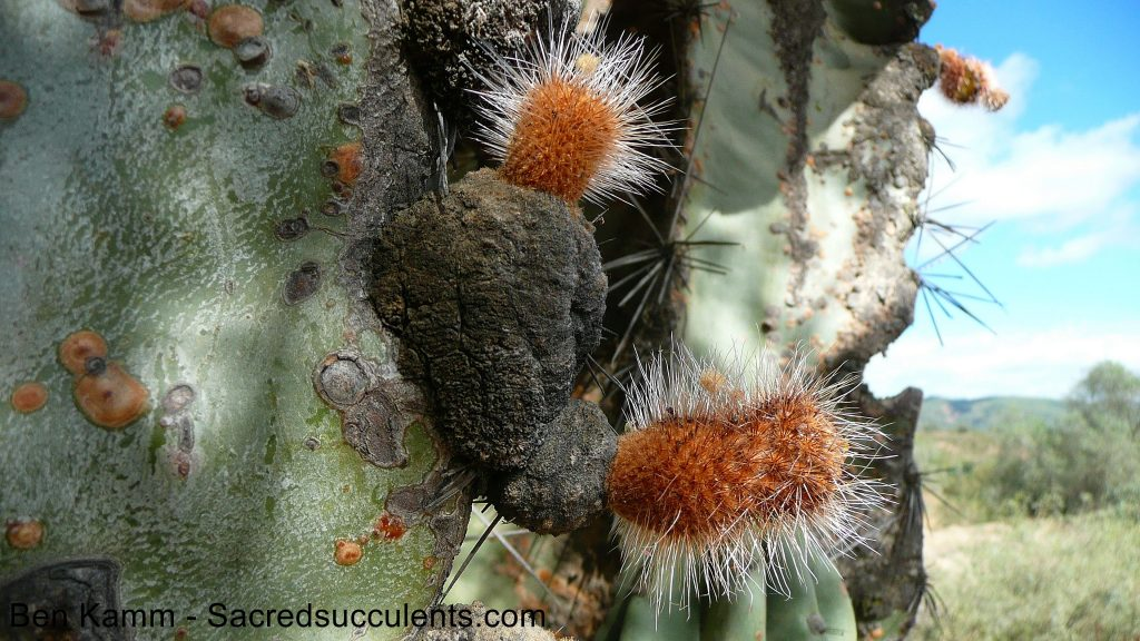 241 Neoraimondia areoles and buds, circa Aquile, Bolivia 2010 copyright B