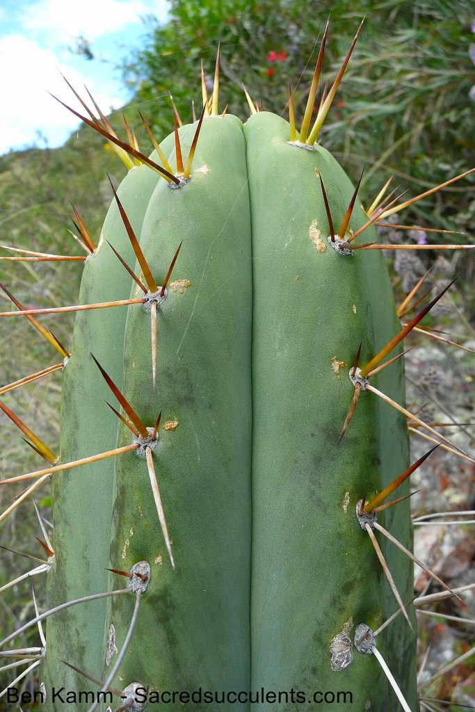 Trichocereus sp, Chavin, Ancash, Peru