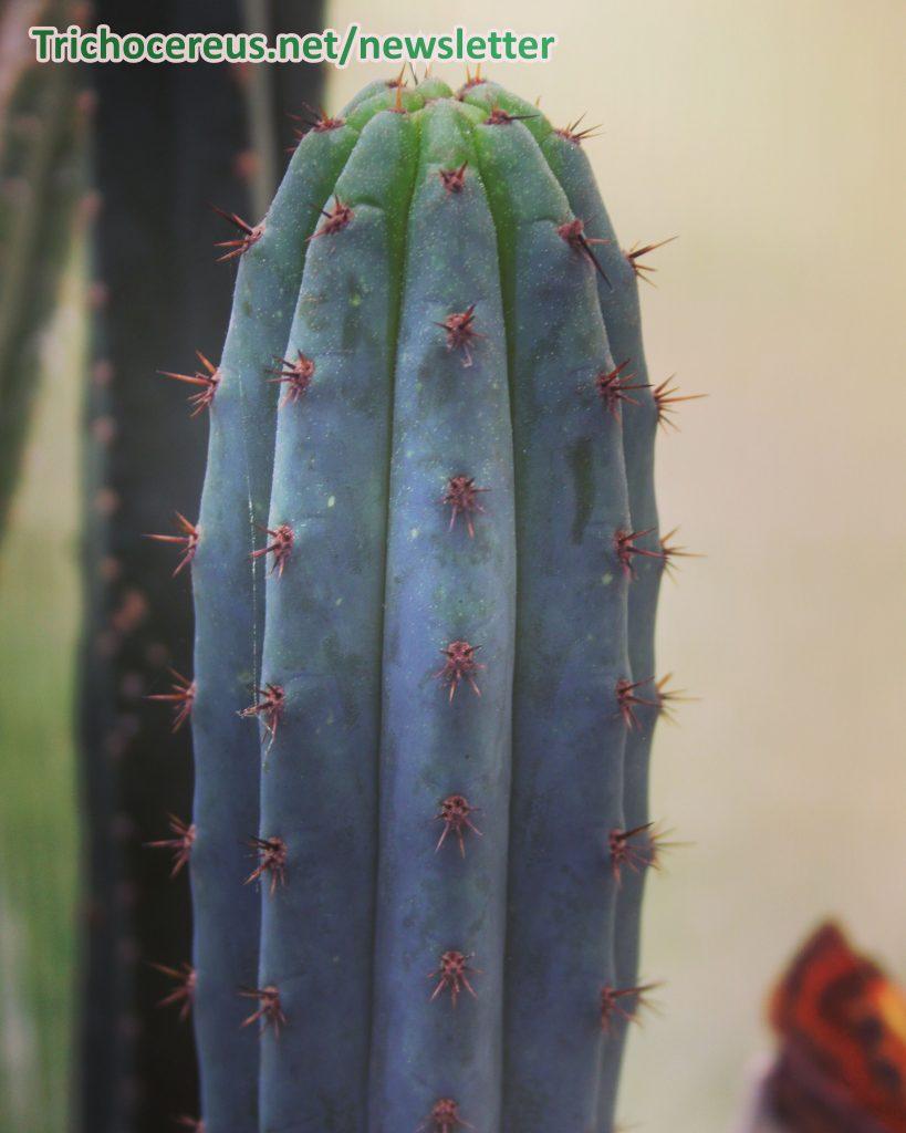 Macrogonus Trichocereus photo