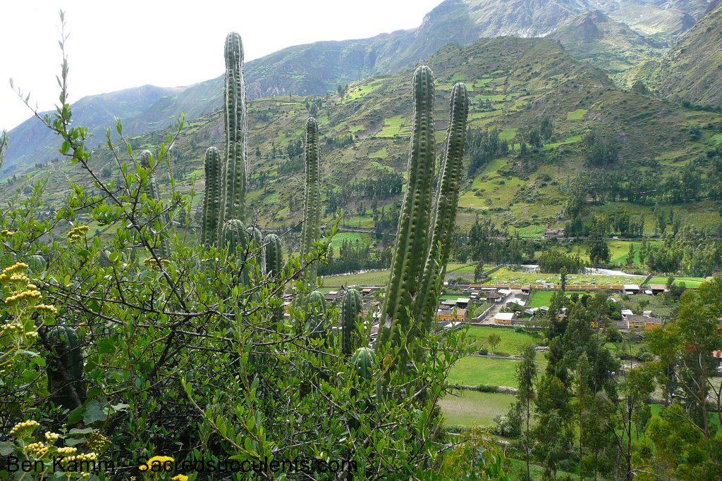 Trichocereus sp, Chavin, Ancash, Peru 2