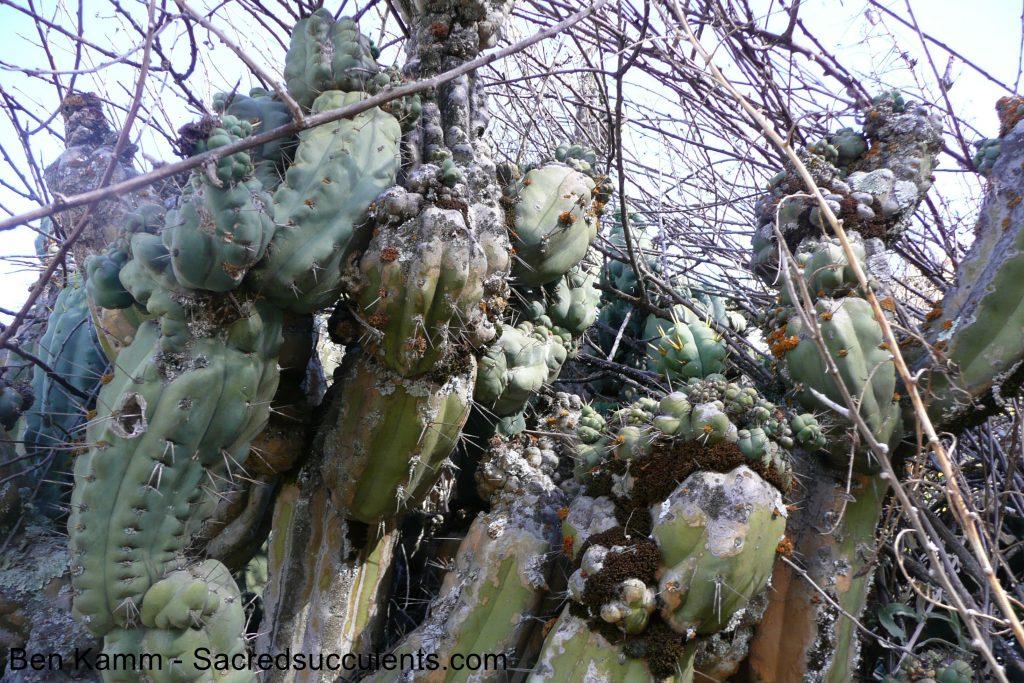 Trichocereus bridgesii / Echinopsis lageniformis in Bolivia 2