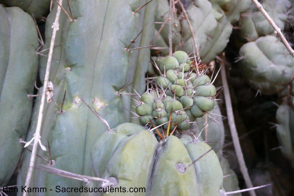 Trichocereus bridgesii / Echinopsis lageniformis in Bolivia 5