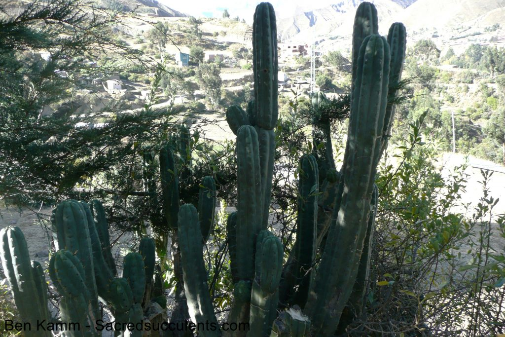 BK08608.3 Trichocereus bridgesii,NE La Paz, Bolivia