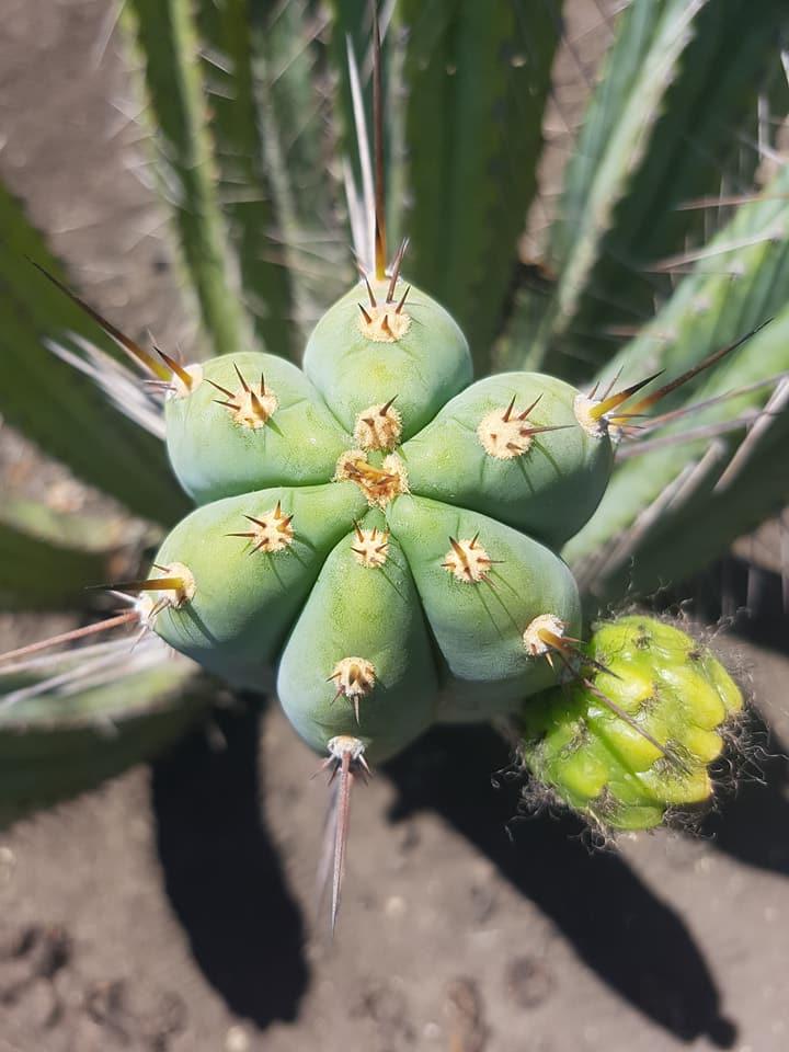 Trichocereus peruvianus Echinopsis peruviana Macrogonus Australian Garden Photos 8