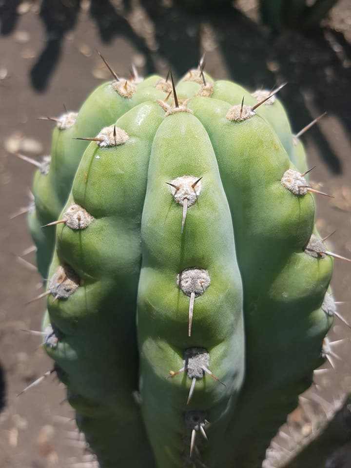 Trichocereus peruvianus Echinopsis peruviana Macrogonus Australian Garden Photos 6