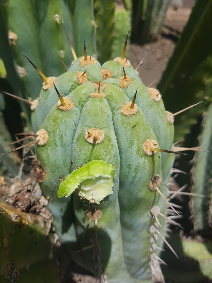 Trichocereus peruvianus Echinopsis peruviana Macrogonus Australian Garden Photos