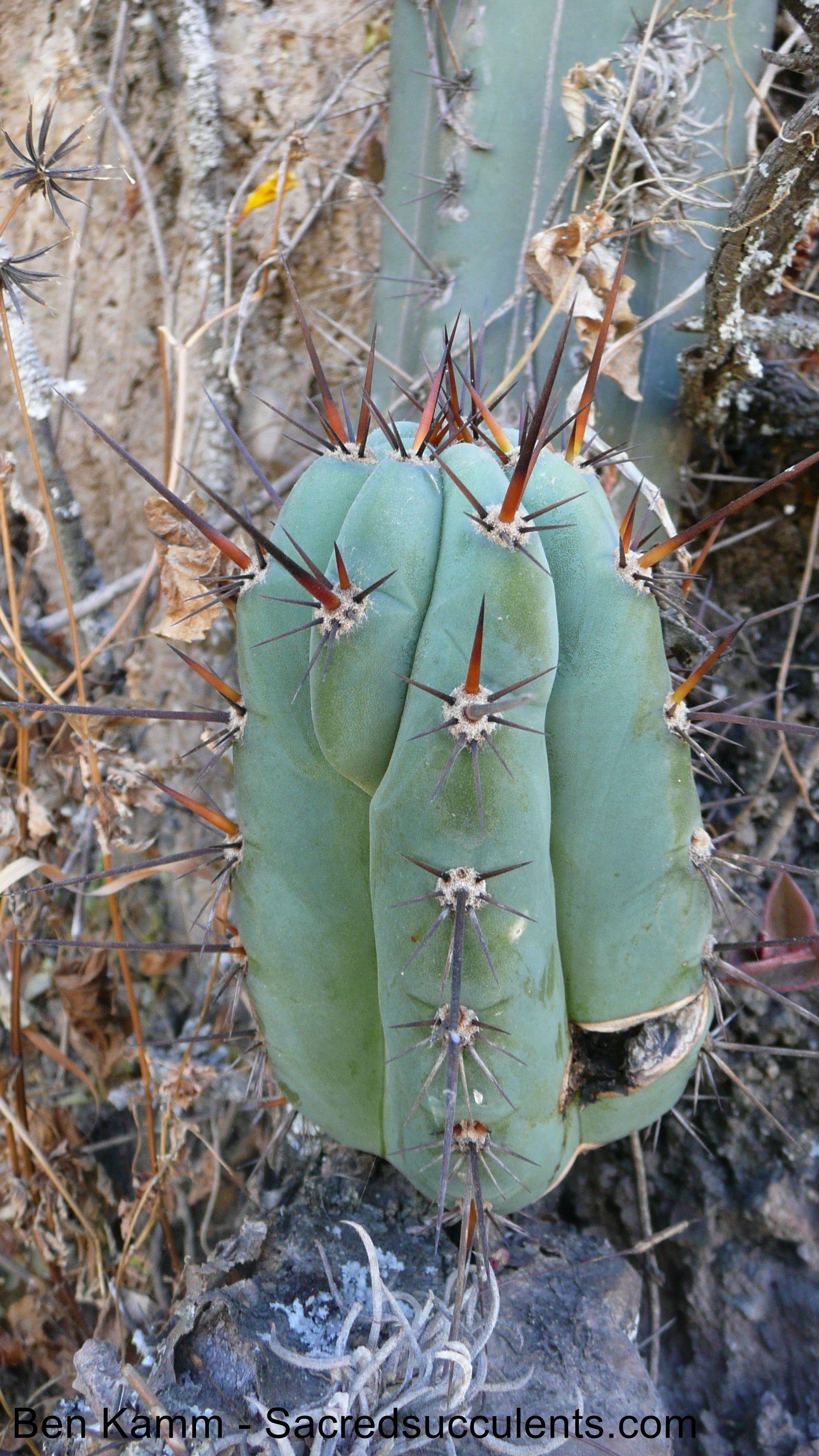 Trichocereus peruvianus Matucana Echinopsis peruviana