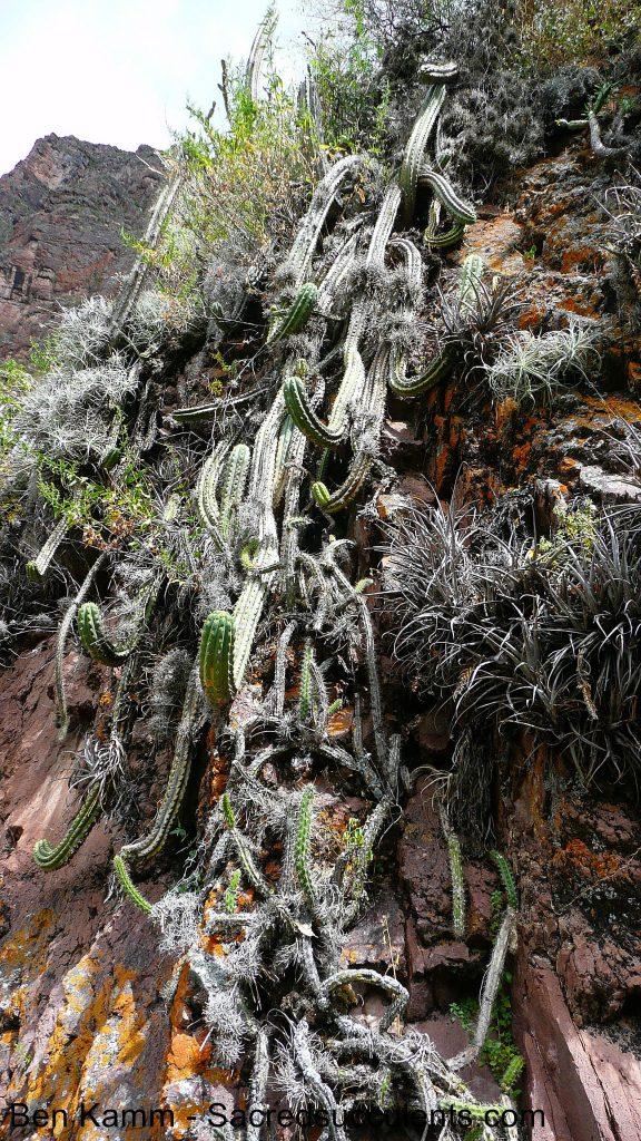 3 Trichocereus cuzcoensis, Lamay, Cusco, Peru 2010 copyright B