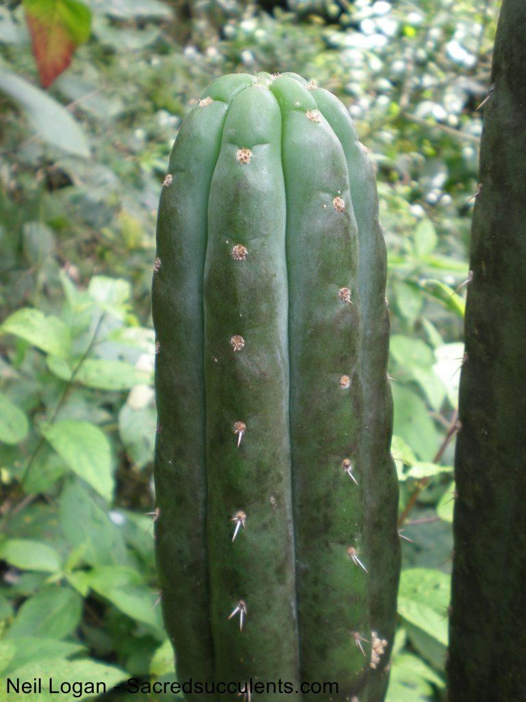 Trichocereus pachanoi in Ecuador Echinopsis Vilcabamba 2