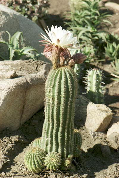 400px-Cactus_002