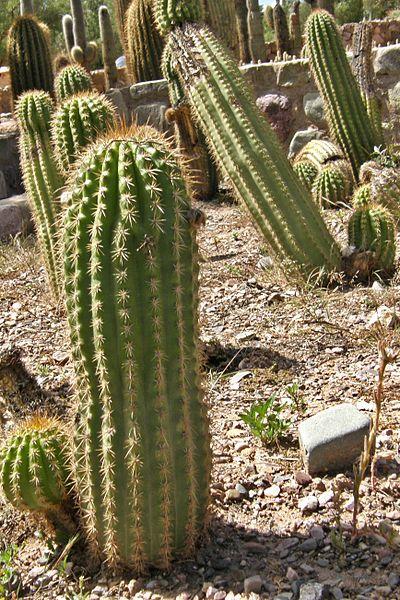 400px-Trichocereus_volcanensis,_cactus