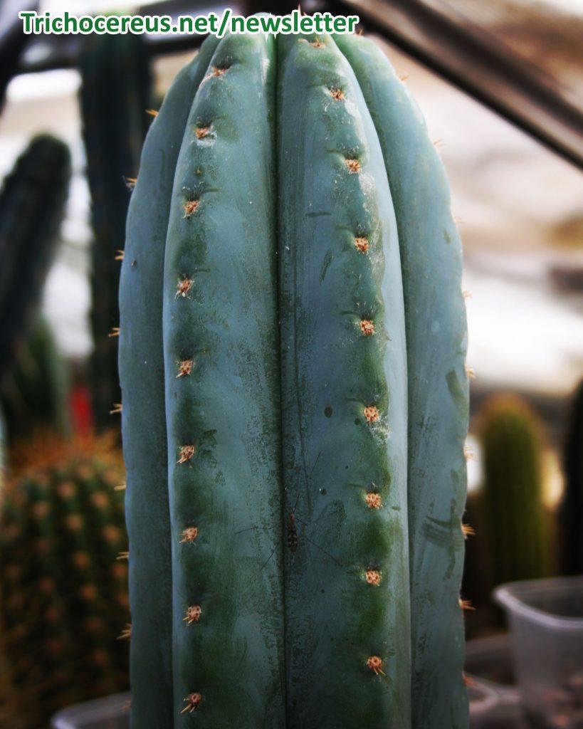 Echinopsis pachanoi Trichocereus pachanoi photo 6