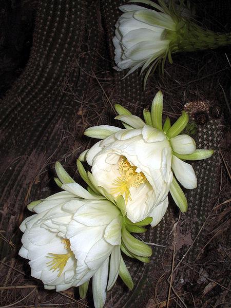 450px-Echinopsis_schickendantzii_(1)
