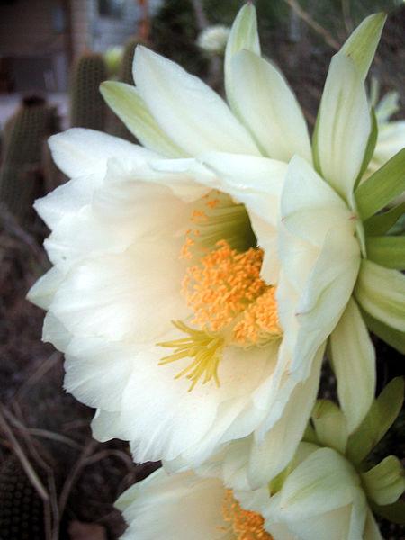 450px-Echinopsis_schickendantzii_(2)