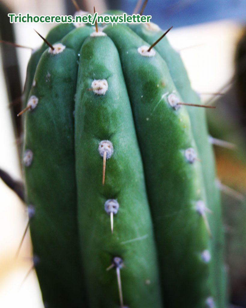 Photo Trichocereus pachanoi Ecuador Echinopsis pachanoi cactus