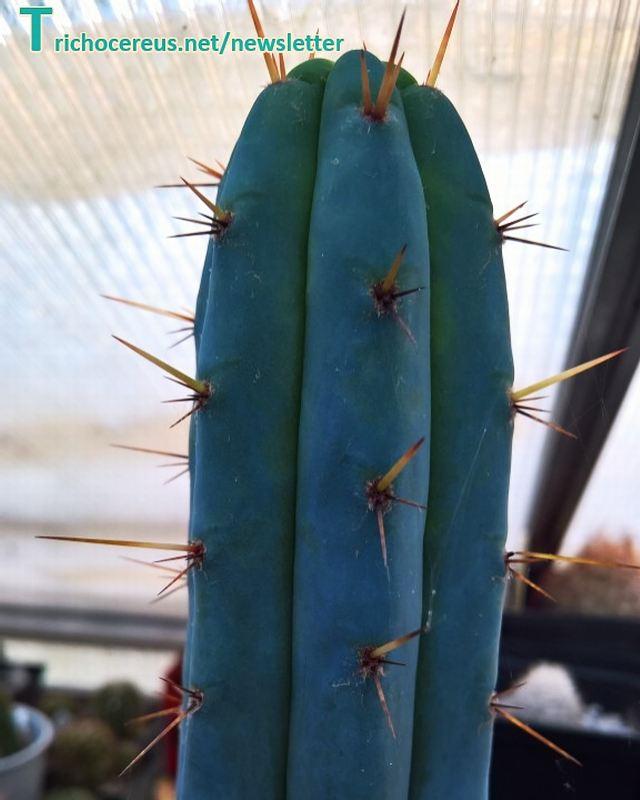 Photo Trichocereus macrogonus European Macrogonus clone 5