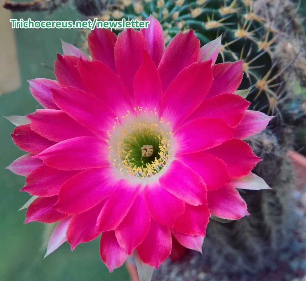 Premium Cactus Seeds Seed - Kakteen Samen Kaktus